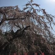 般若寺枝垂桜 (6)